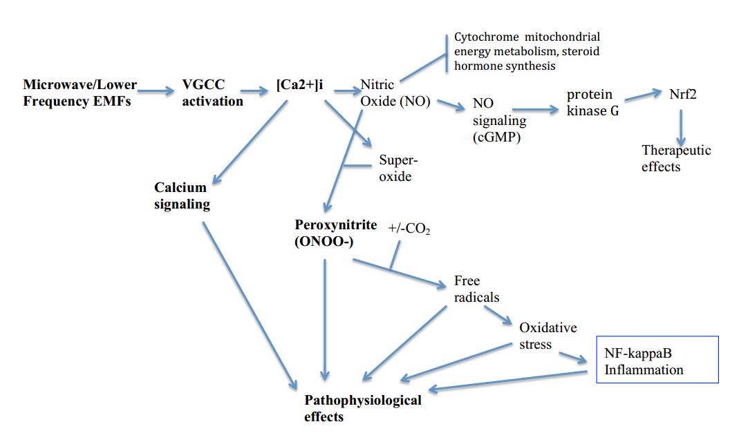 8dd6097ee97 Kiirguse mõjul käivituvad protsessid (nii teraapilised kui ka  patofüsioloogilised) on kujutatud alljärgneval joonisel.